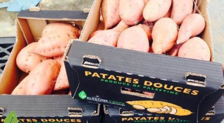 GAZA EXPORT SWEET POTATOES  TO EUROPE FOR THE FIRST TIME SINCE BLOCKADE