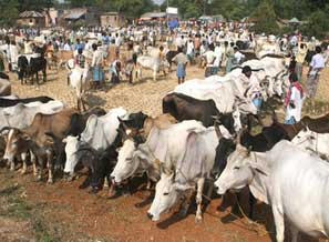 INDIAN MUSLIMS ABANDON COW SLAUGHTER IN EID