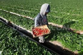 ISRAELI BLOKADE BADLY HARMS GAZA FARMING