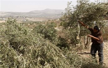 SETTLERS DESTROY 70 OLIVE TREES NEAR HEBRON