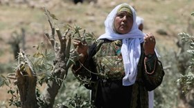 REPORT: 1350 OLIVE TREES UPROOTED IN AL-KHALIL DURING MARCH