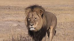 MUSLIMS CONDEMN LION CECIL HUNTING