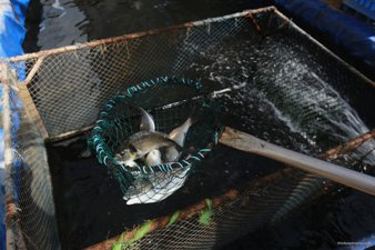 FISH FARMS IN GAZA COUNTER ISRAELI RESTRICTIONS ON FISHING LIMIT
