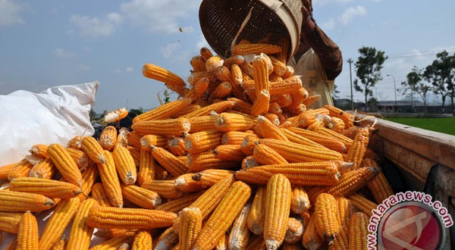 INDONESIA EXPORTS 400 THOUSAND TONS OF CORN