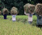 Global Warming May Make Rice Less Nutritious, Scientists Warn