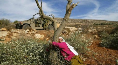 Israeli Settlers Uproot 100 Olive Trees of Salfit