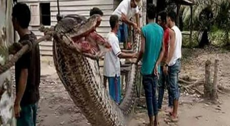 Woman Swallowed by Giant Python in Indonesia