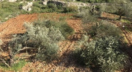 Israeli forces and settlers Unplug 473 Olive Trees in West Bank