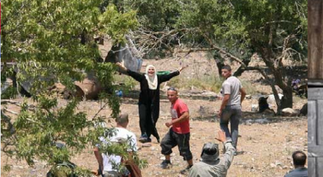 Palestinian Farmers' Olives Stolen by Jewish Settlers