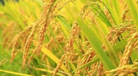Maluku Province Ready to Produce Rice Seeds to Handle Stunting