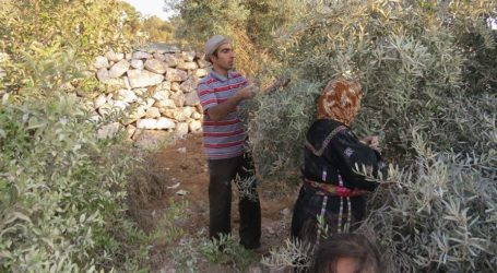 Israel Attacks Olive Harvest Event in Ramallah