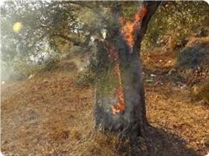 Israeli Settlers Burn Hundreds of Olive Trees by Molotov