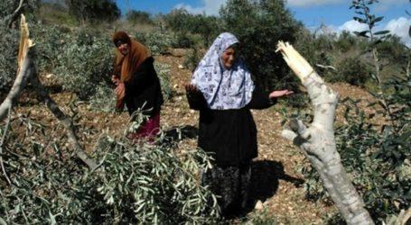 Israeli Troops Uproot Dozens of Palestinian Olive Trees in Bethlehem