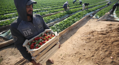 Gaza Awaits Approval to Export Strawberries to Europe