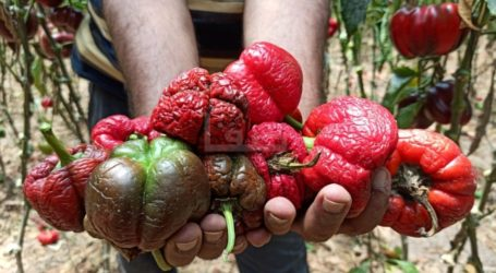 Farmers in Gaza Stop Exporting Agricultural Products Under Israeli Impossible Conditions