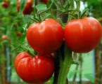 Agriculture in Gaza Disapproves Israeli Impossible Requirements of Exporting Tomatoes from Gaza